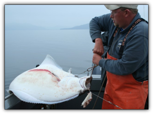 Capt. Andy Martin of Wild Rivers FIshing pulls in an Alaskan halibut.